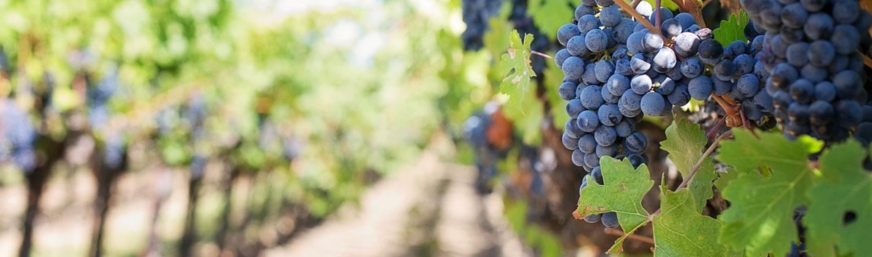 Oak Orchard Vineyard